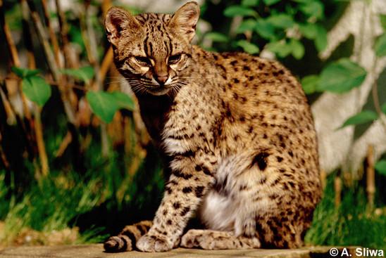 Catsg Geoffroy S Cat