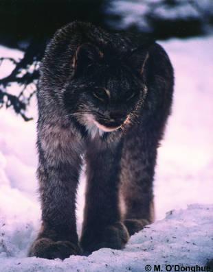 CatSG: Canada lynx