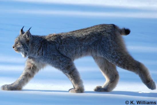 Catsg Canada Lynx
