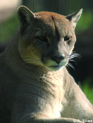 eastern puma iucn