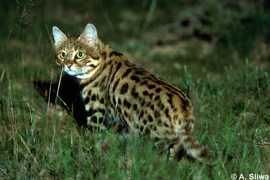 Catsg Black Footed Cat