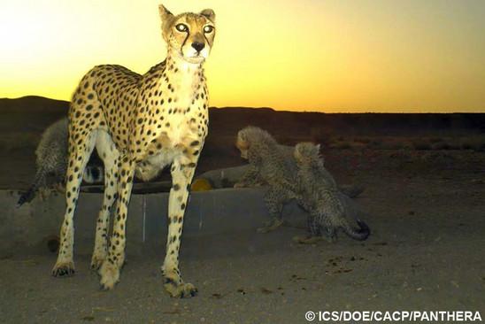CatSG: Asiatic cheetah