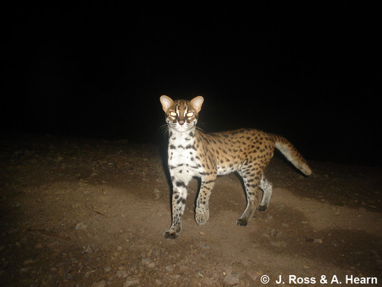 CatSG: Leopard cat
