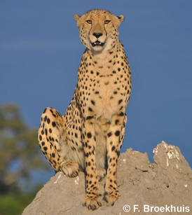 cheetah animal in english