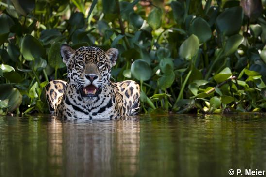 Catsg Jaguar