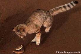 Catsg Sand Cat